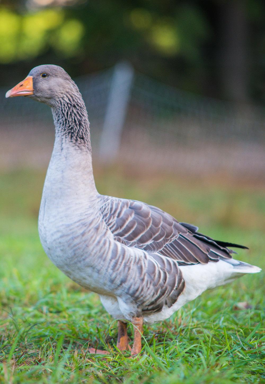 sized goose.jpg