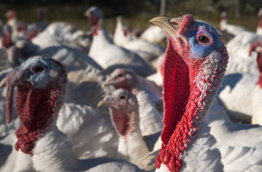 turkeys3.jpg