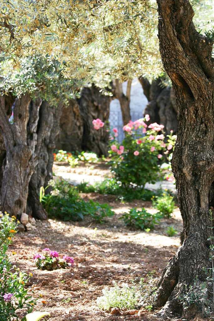 Where was the garden of gethsemane plough boy resources for Age olive trees garden gethsemane