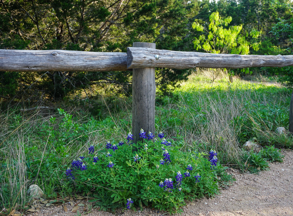 I love springtime in Texas, there are bluebonnets everywhere :)