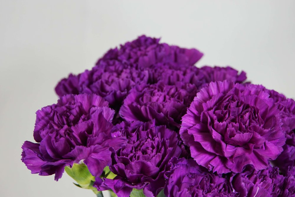 Moon Series Carnations
