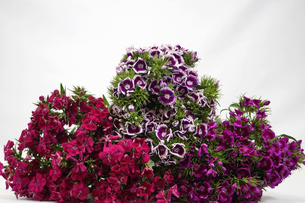 Sweet William Dianthicus
