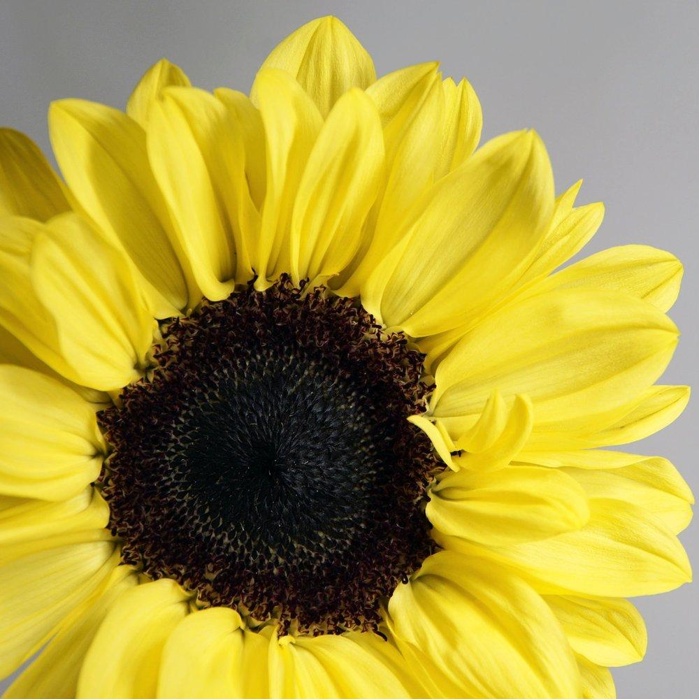 Bright Yellow Sunflower.jpg
