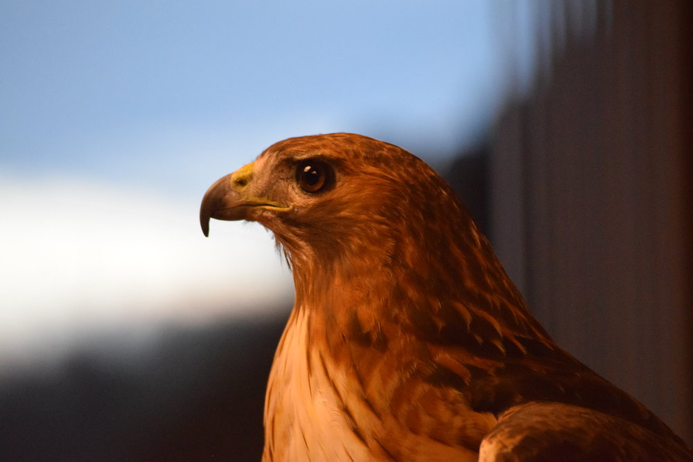 Raenah the Red-Tailed Hawk