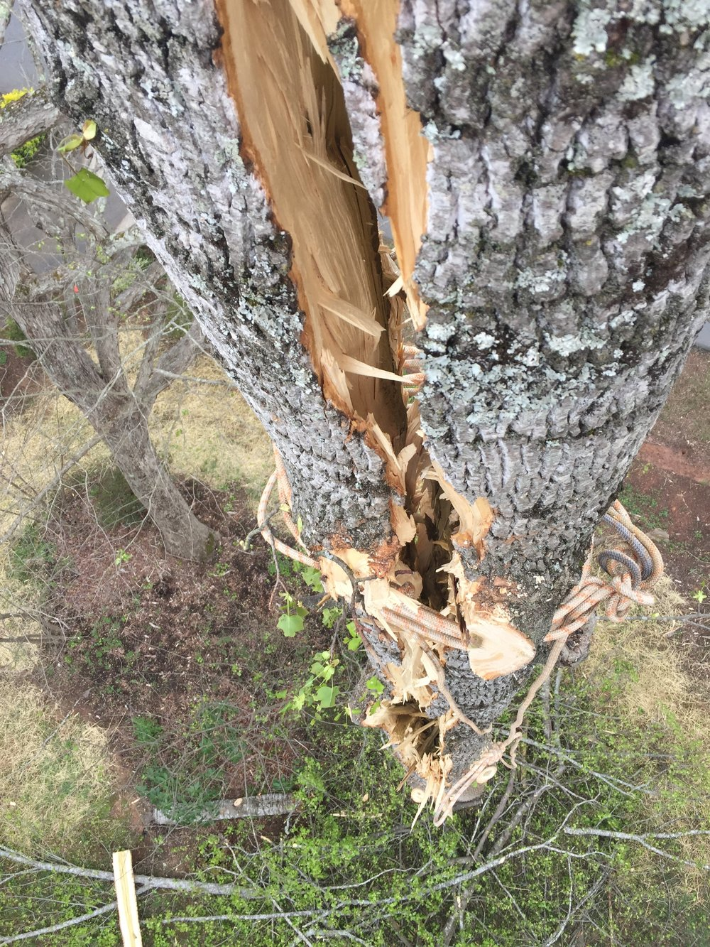 Limbwalkers Tree & Crane Service had to tie this poplar tree together for removal after lightning struck it.