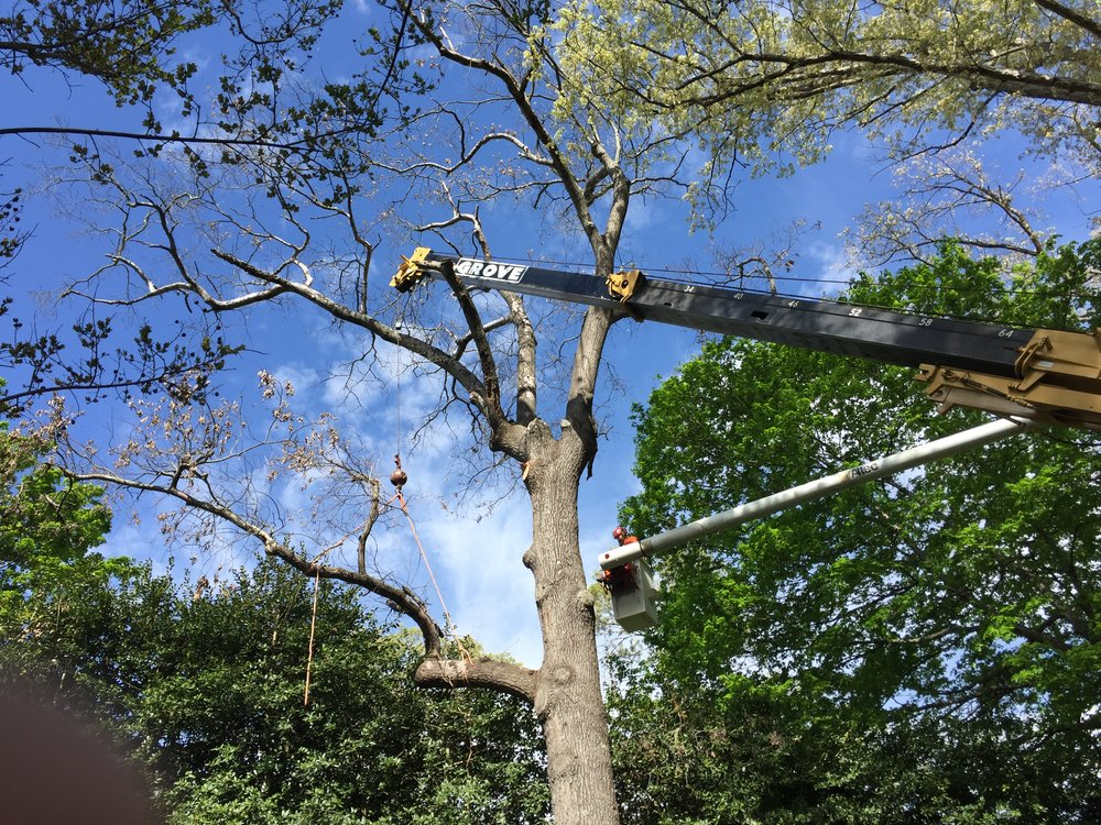 Limbwalkers Tree & Crane Service removes a very dead and unsafe Red Oak tree near downtown Morganton, NC.