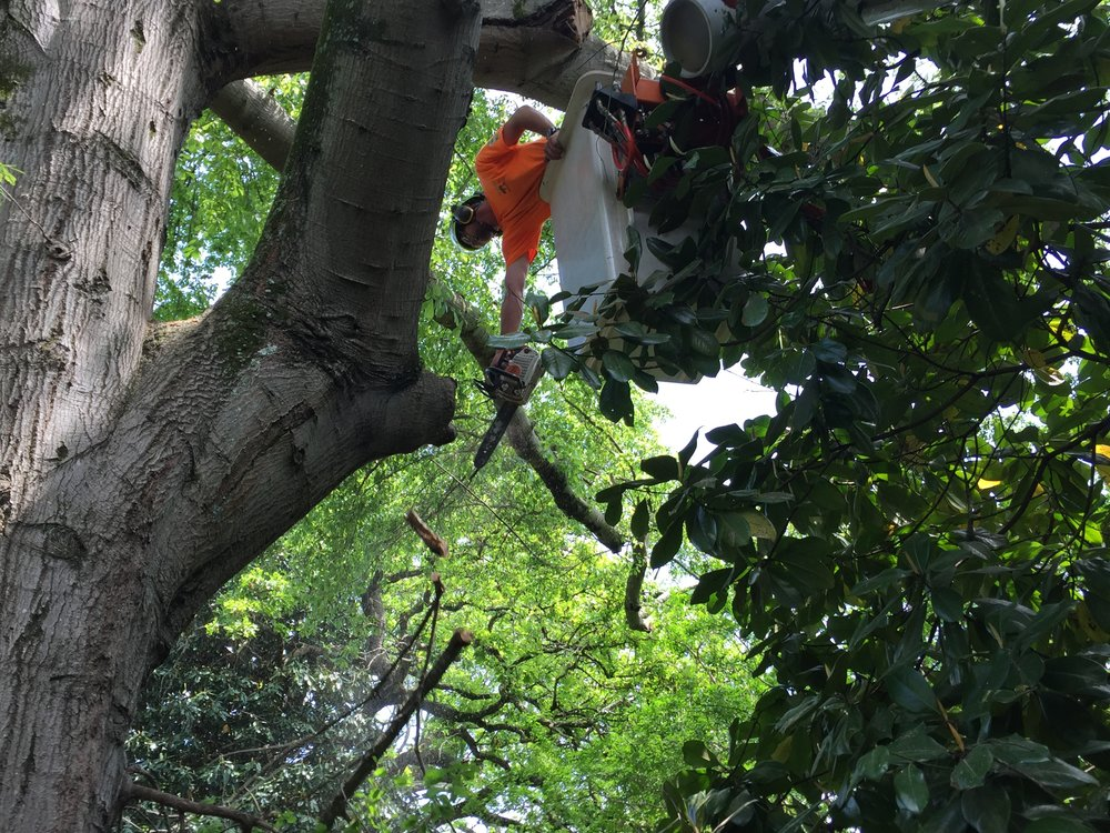 Limbwalkers Tree & Crane Service deadwooding a tree in Morganton, NC.