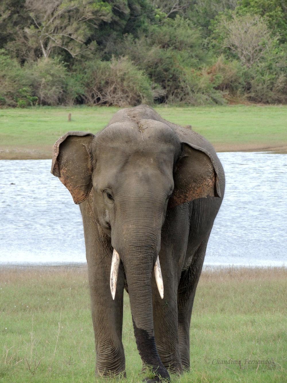 Elephant 02.jpg