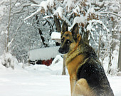 German Shepherd photography,dog photograph,beautiful eyes,winter,snow,german shepherd on snow background,dog lovers gift,dog portrait,snowy,