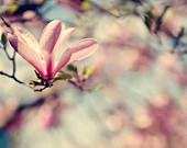 Mothers Day Photography nature women Spring Magnolia tree flowers blooms blossoms light pink blue aqua romantic soft - Fine Art Photograph