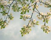 Cherry Blossom art Photography, Spring art, nature art flowers print, large wall art, mint green living room decor, home decor, 11x14, 16x20