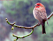 House Finch in the Rain, Rainy Day, Winter Nature Photography, California Bird Photography, Rain Photography, Catherine Natalia Roché