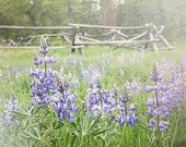 Purple Lupines Photograph prairie meadow grass western fence Wyoming summer flowers 8x10 morning country landscape