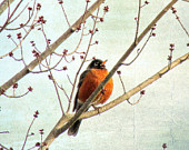 Robin Bird Nature Photograph 11 x 14