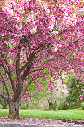 201205-orig-cherry-tree-284x426.jpg