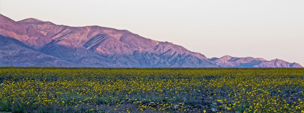 Desert Gold Super Bloom at Sunrise - ©️ Nicole Atkins