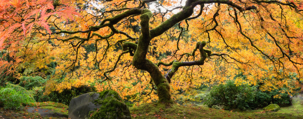 Portland in Autumn, Japanese Maple - ©️ Nicole Atkins
