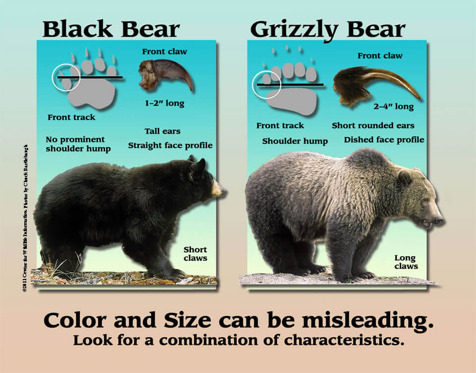 Bear Characteristics - ©️  Washington Dept of Fish & Wildlife