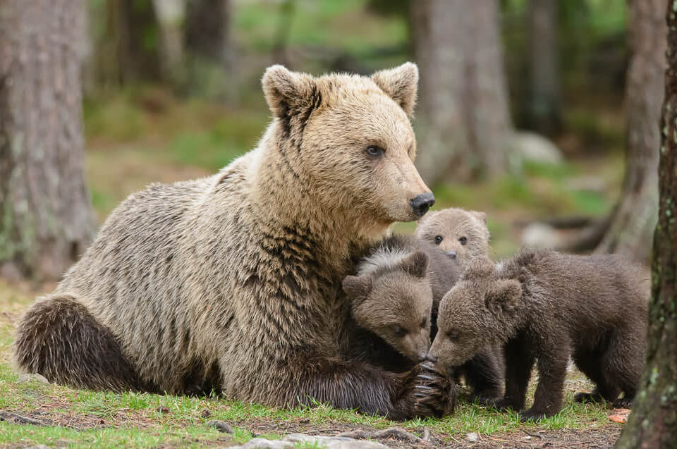Momma bear with cubs - ©️  Arend