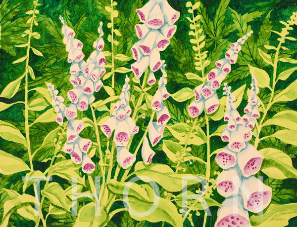 "FOXGLOVE    Click on image for size and material options.   Prints Available From $45 - $125  Watercolor, 10""w x 8""h  Original Art For Sale $200  2003  Artist: Karen Thornberg"