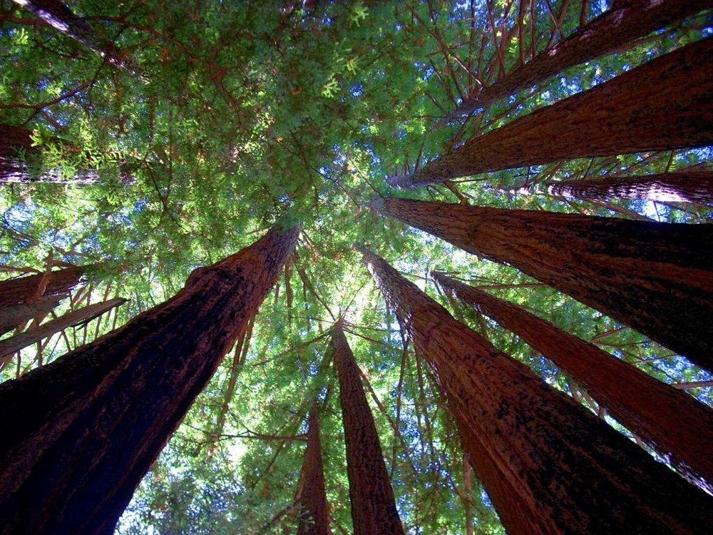 redwoodslookingup.jpg