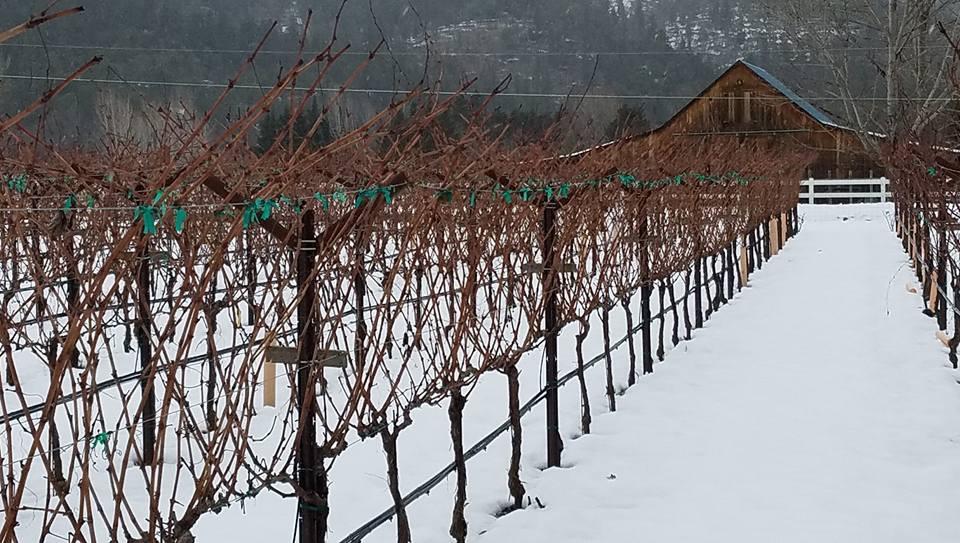Photo of snowy vineyard