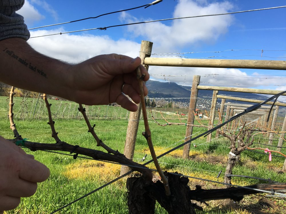Photo of Herb inspecting grape vine