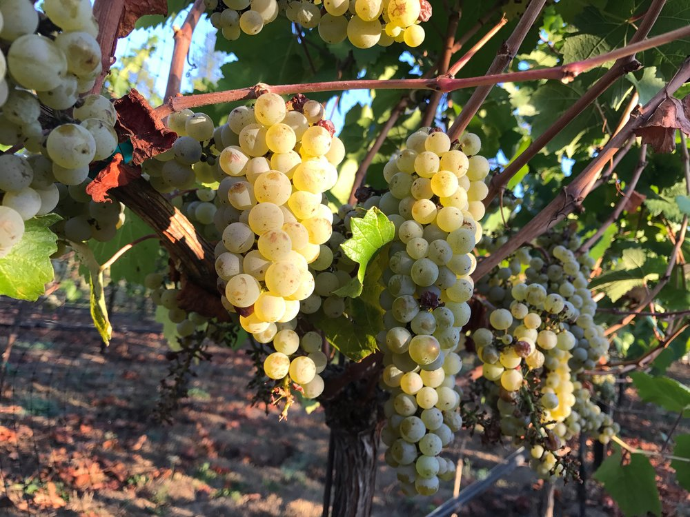 Photo of grapes on vine