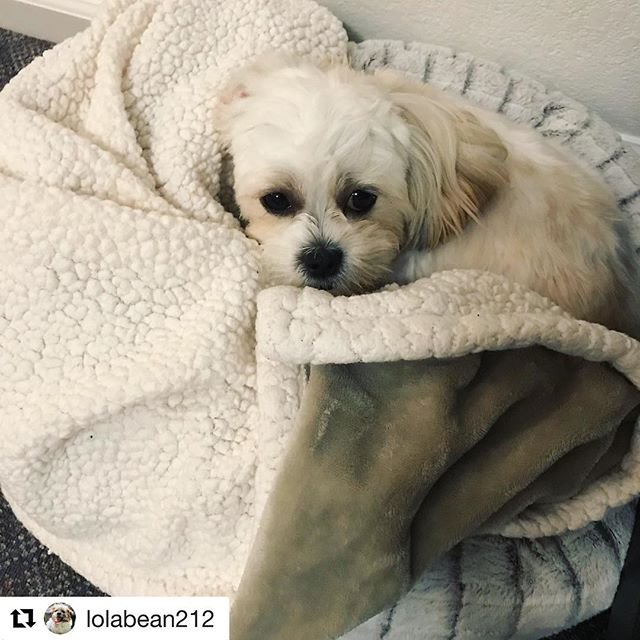 #Repost @lolabean212 with @get_repost ・・・ Dear Monday, Suck it. Sincerely, The Bean #lolathebean #malshipuppy #puppy #teddybearpuppy #teddybeardog #malshiofinstagram #malshidog #malshilove #dogstagram #dogs #dogs_of_instagram #dogoftheday #maltese #shihtzu #pup #instapuppy #instadog #petsofinstagram #malshipuppies #malshilovers #bestwoof #teddybear #teddybearpuppies #teddybeardog #divadog