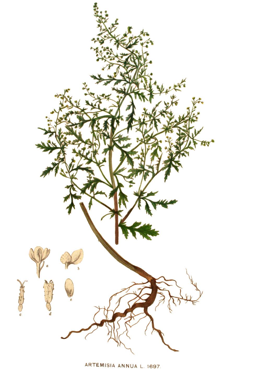 Artemisia annua.  Image: Oceancetaceen - Alice Chodura [Public domain], via Wikimedia Commons
