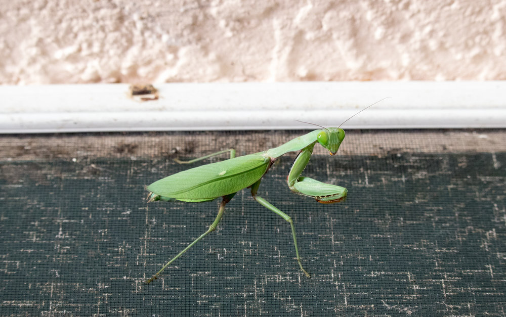 Mr Praying Mantis....one of many insects we find inside daily. Not a big deal however they attract bigger animals.