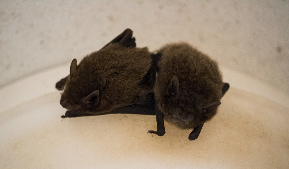 Such as... Bella & Edward, two of the little bats that like to fly around the house at night eating insects along with the frogs and geckos.  What eats bats, frogs and gekkos though?
