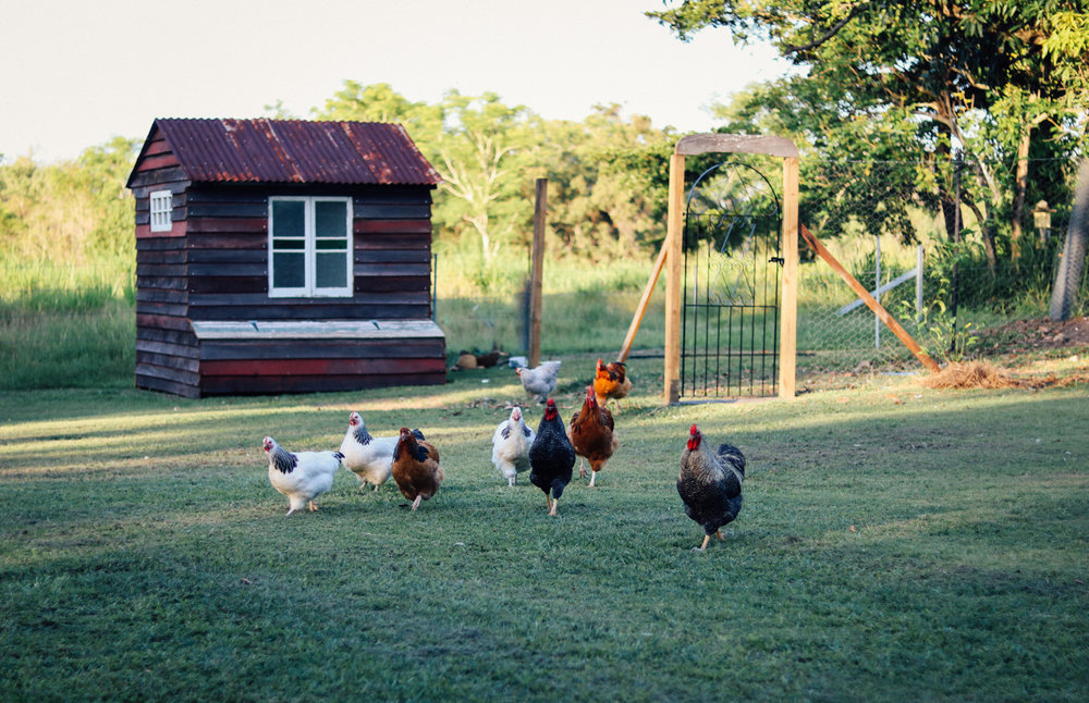 I still let the chooks out for a run every afternoon, even though I say I won't as they really enjoy attacking my herb garden and scratching the mulch off my fruit trees every single day.