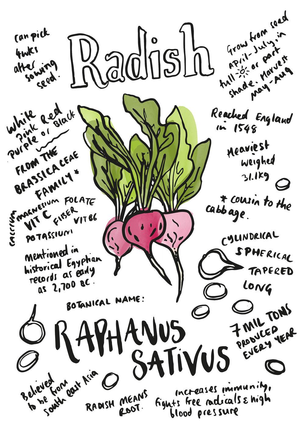 radish.jpg