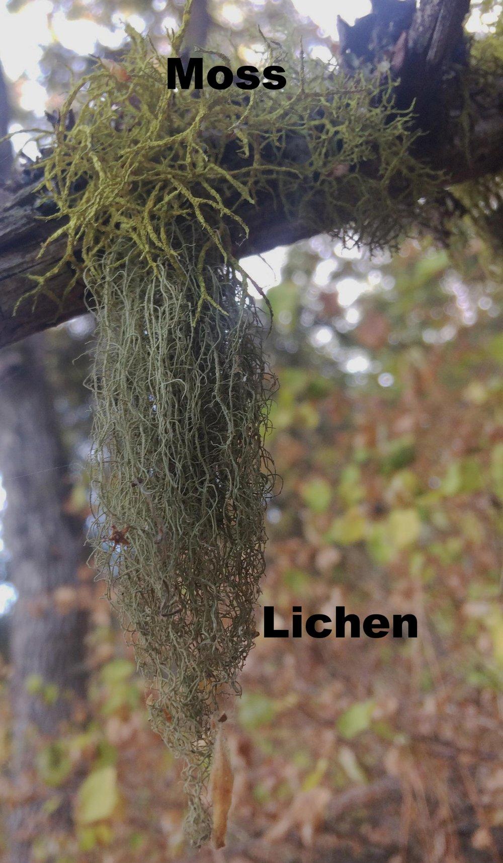 A fruticose lichen on the Rowena Crest Trail, Oregon