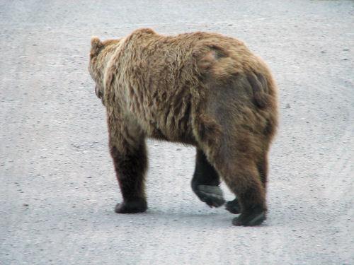 denali_bear.jpg