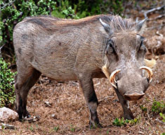 wild pig lr.jpg