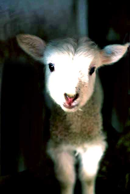 lamb emerging from darkness loer2.jpg