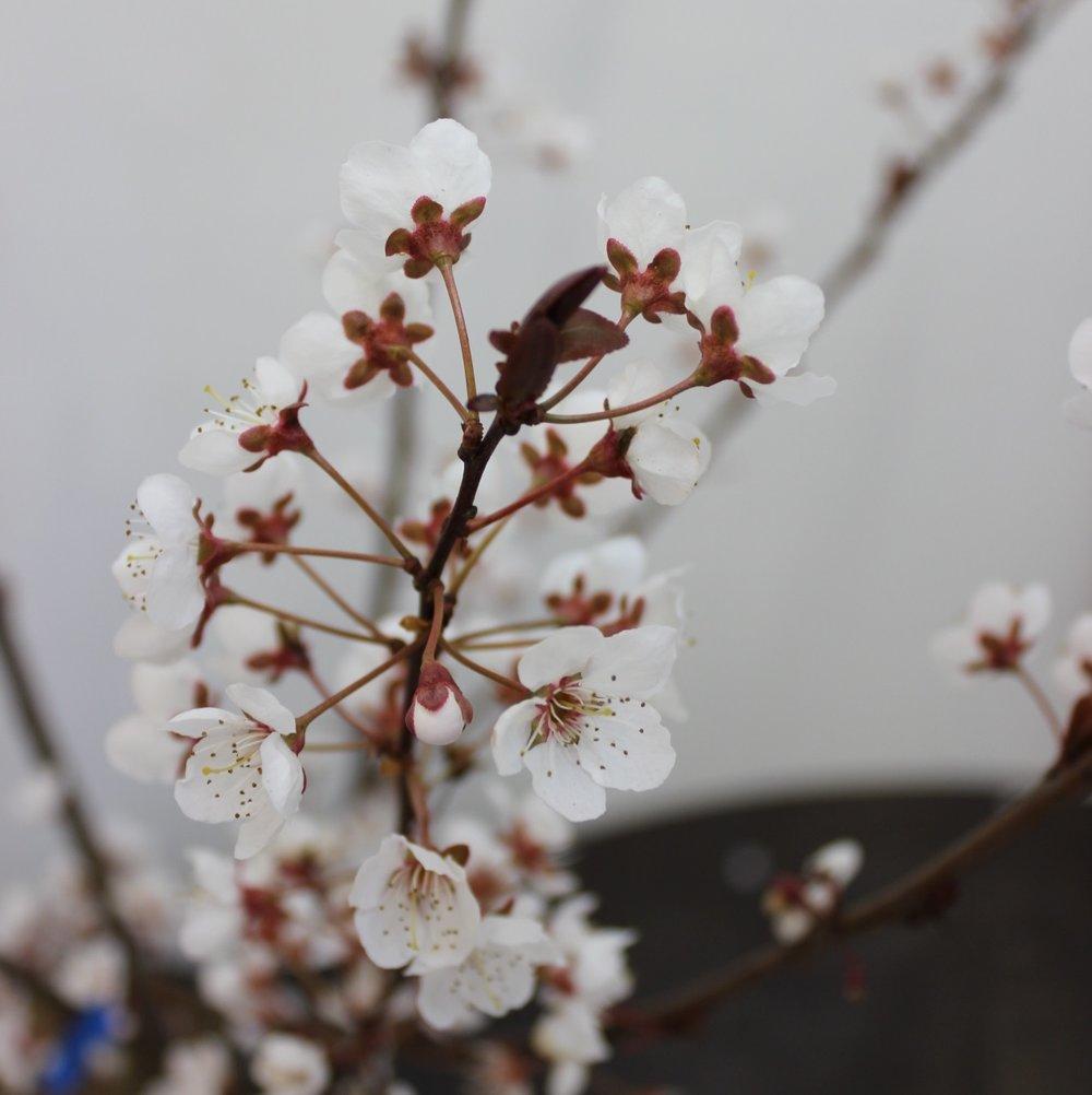Prunus Trailblazer qdr.jpg