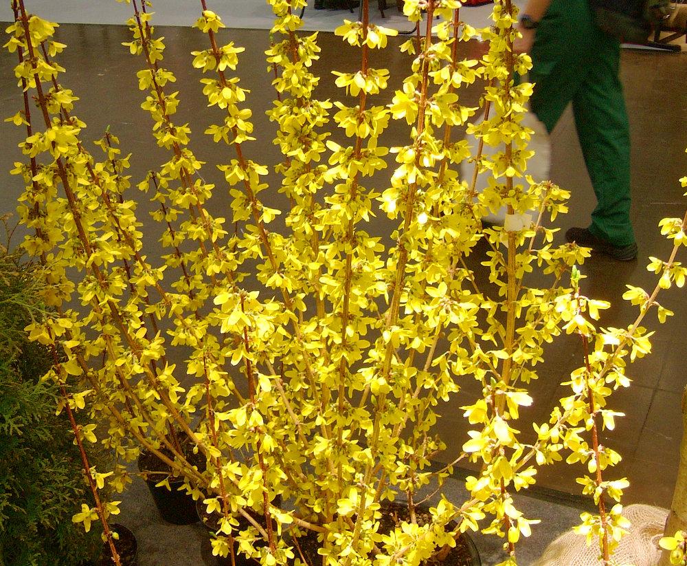 FORSYTHIA intermedia 'Goldrausch' 7.jpg