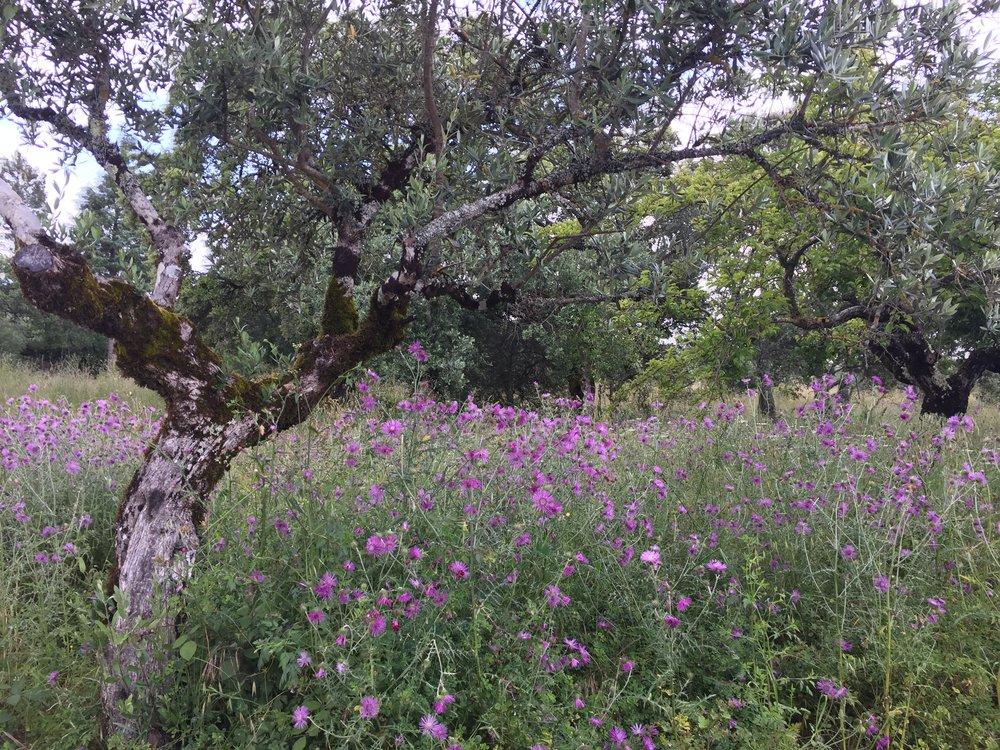 Meu sentimento foi de pertencimento.As oliveiras, ovelhas, sobreiros, o campo de flores, tudo remetia a aldeia do meu pai e avós. Doces memórias gravadas no meu DNA.