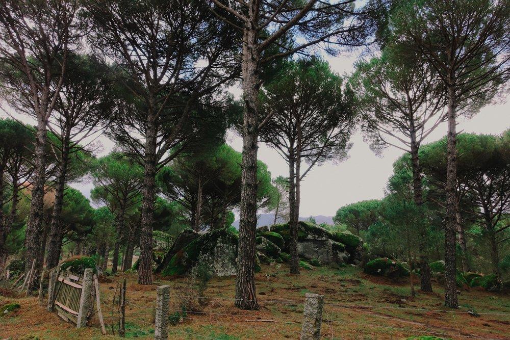 Pinus pinea  and granite. Kozak Plateau.