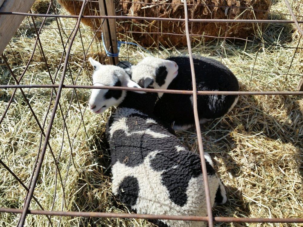 Lambs at the petting zoo.