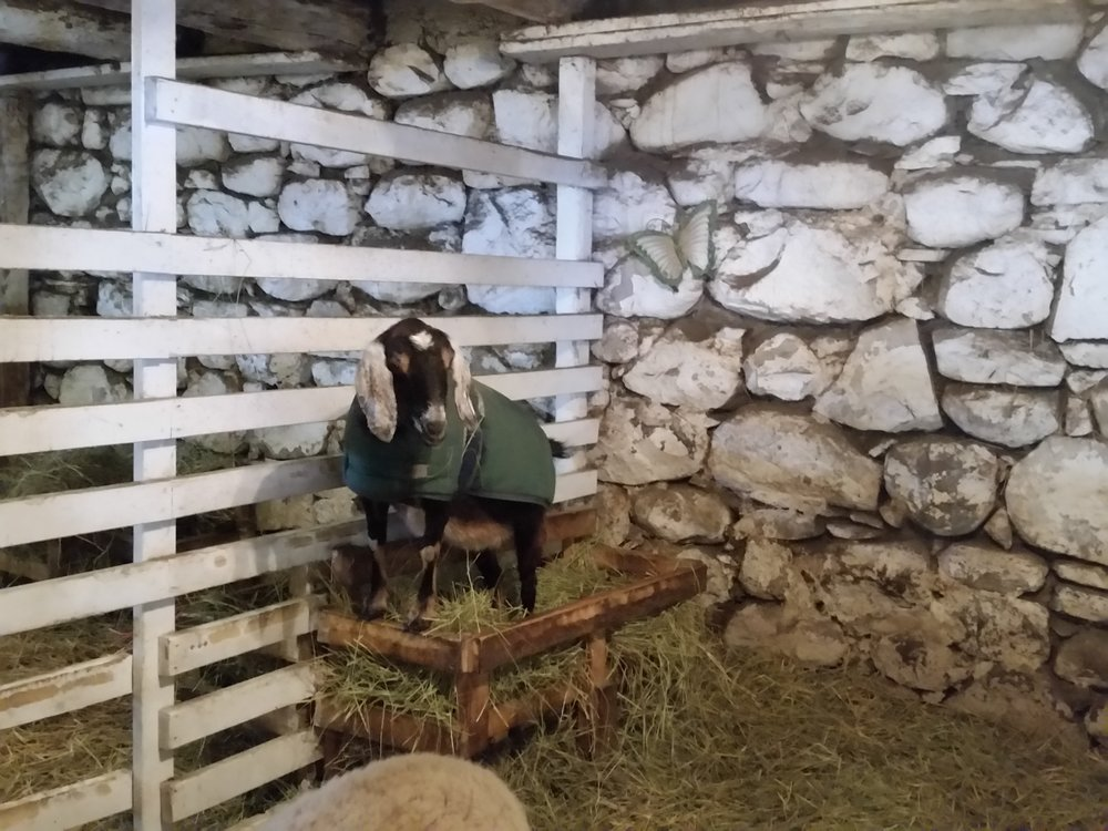 Bernice the goat, standing in a  manger.