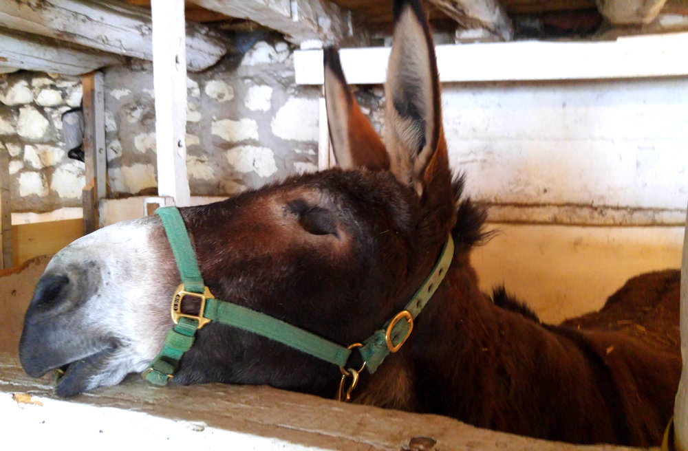 Patsy, a blind donkey, taking a nap after her relaxing nose rub.