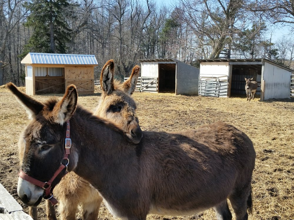 Miriam the donkey, being nuzzled by her 1 year old daughter Guinevere.