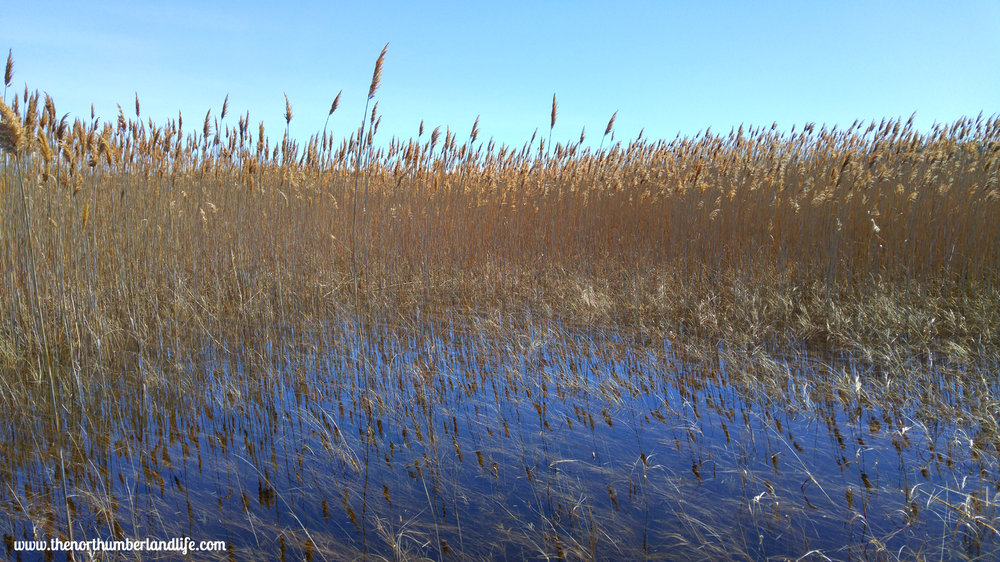 The reeds along the Marsh Boardwalk at Presqu'ile.