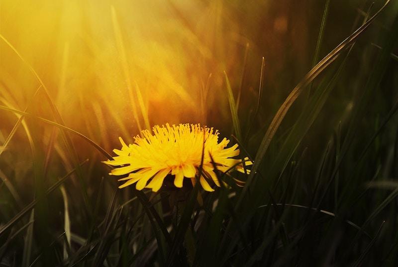 dandelion-weed.jpg