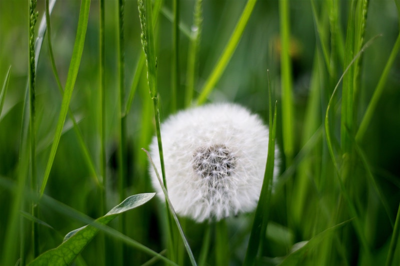 dandelion-weed-fall-lawn.jpg
