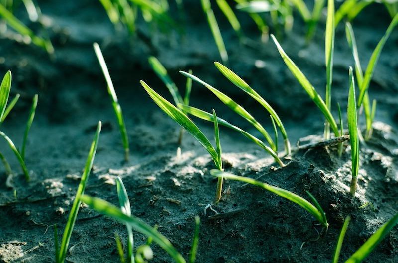 grass-seedlings.jpg